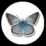 nimble_asset_Chalkhill-Blue