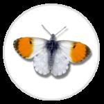 nimble_asset_Orange-Tip