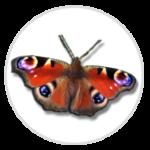 nimble_asset_Peacock