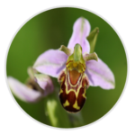 nimble_asset_Bee-Orchid