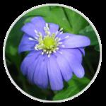 nimble_asset_Blue-Anemone