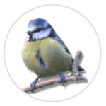 nimble_asset_Blue-Tit