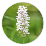 nimble_asset_Common-Spotted-Orchid