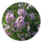 nimble_asset_Cuckoo-Flower