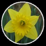 nimble_asset_Daffodil