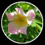 nimble_asset_Dog-Rose