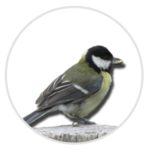 nimble_asset_Great-Tit