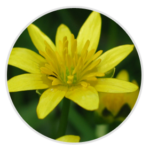 nimble_asset_Lesser-Celandine