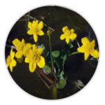 nimble_asset_Marsh-Marigold