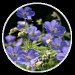 nimble_asset_Meadow-Cranesbill