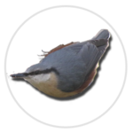 nimble_asset_Nuthatch