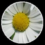 nimble_asset_Oxeye-Daisy
