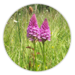 nimble_asset_Pyramidal-Orchid