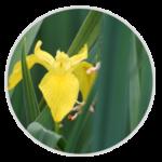 nimble_asset_Yellow-Iris