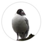 nimble_asset_Black-headed-Gull