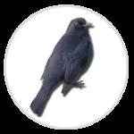 nimble_asset_Blackbird-1