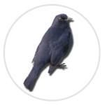 nimble_asset_Blackbird