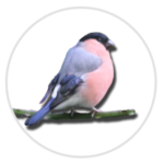 nimble_asset_Bullfinch