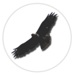 nimble_asset_Buzzard