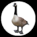 nimble_asset_Canada-Goose