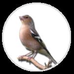 nimble_asset_Chaffinch-1
