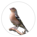 nimble_asset_Chaffinch