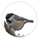 nimble_asset_Coal-Tit