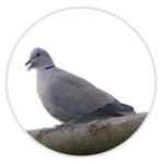 nimble_asset_Collared-Dove