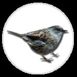 nimble_asset_Dunnock-1