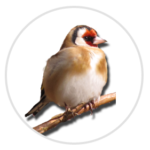 nimble_asset_Goldfinch