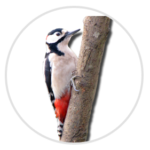 nimble_asset_Great-Spotted-Woodpecker