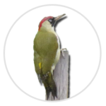 nimble_asset_Green-Woodpecker