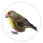 nimble_asset_Greenfinch