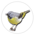nimble_asset_Grey-Wagtail