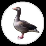 nimble_asset_Greylag-Goose