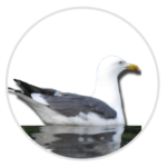 nimble_asset_Herring-Gull