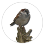 nimble_asset_House-Sparrow