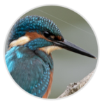 nimble_asset_Kingfisher
