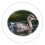 nimble_asset_Little-Grebe