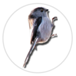 nimble_asset_Long-tailed-Tit