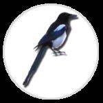 nimble_asset_Magpie