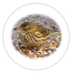 nimble_asset_Meadow-Pipit