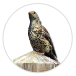 nimble_asset_Mistle-Thrush