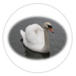 nimble_asset_Mute-Swan