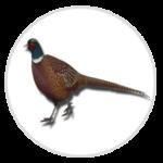 nimble_asset_Pheasant-1