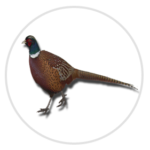 nimble_asset_Pheasant