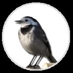 nimble_asset_Pied-Wagtail