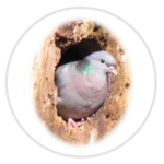 nimble_asset_Stock-Dove
