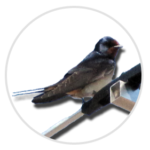 nimble_asset_Swallow