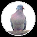 nimble_asset_Woodpigeon-1